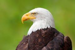 Águia americana, leucocephalus do Haliaeetus, retrato do pássaro de rapina marrom com cabeça branca, conta amarela, símbolo da li imagens de stock