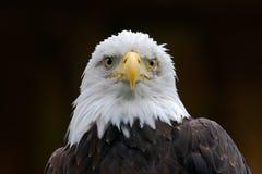 Águia americana, leucocephalus do Haliaeetus, retrato do pássaro de rapina marrom com cabeça branca, conta amarela, símbolo da li imagens de stock royalty free