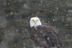 Águia americana na tempestade de neve Fotografia de Stock Royalty Free