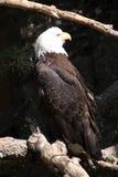 Águia americana americana nas árvores em Colorado imagens de stock