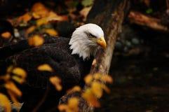 Águia americana no outono Fotografia de Stock Royalty Free