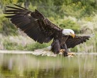 Águia americana que entra para uma aterrissagem lisa imagens de stock royalty free