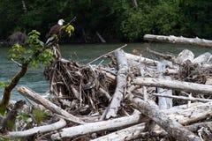 Águia americana selvagem no rio Fotografia de Stock Royalty Free