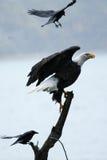Águia americana swooped pelo corvo Imagens de Stock Royalty Free