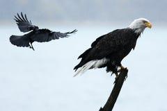 Águia americana swooped pelo corvo Fotos de Stock