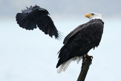 Águia americana swooped pelo corvo Fotografia de Stock