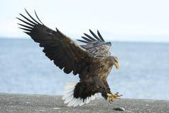 A águia atada branca adulta aterrou Fundo do céu azul e do oceano imagens de stock