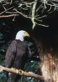 A águia aterrou Imagem de Stock