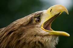 águia Branco-atada Fotografia de Stock Royalty Free