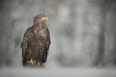 águia Branco-atada Fotografia de Stock