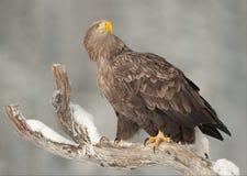 águia Branco-atada Imagens de Stock