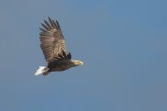 águia Branco-atada Foto de Stock