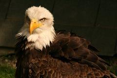 águia Branco-atada imagem de stock royalty free