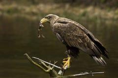 águia Branco-atada (albicilla do Haliaeetus) imagens de stock royalty free