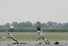 águia Branco-atada (albicilla do Haliaeetus) Fotografia de Stock Royalty Free