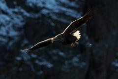 águia Branco-atada (albicilla do Haliaeetus) em voo Foto de Stock Royalty Free