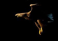 águia Branco-atada (albicilla do Haliaeetus) no fligh Imagem de Stock