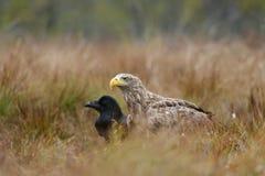 águia Branco-atada e corvo comum Fotografia de Stock Royalty Free