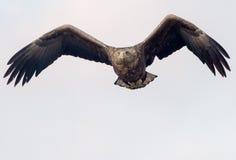 a águia Branco-atada está entrando Fotos de Stock