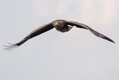 a águia Branco-atada está voando Fotos de Stock Royalty Free