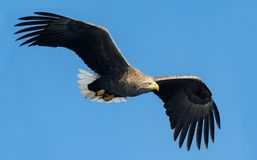 águia Branco-atada no vôo Fundo do céu azul Nome científico: Albicilla do Haliaeetus, igualmente conhecido como o ern, erne, águi fotos de stock