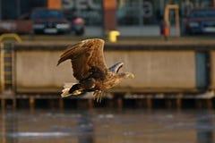 águia Branco-atada - uma águia polonesa bonita, a mais grande em toda sua glória Foto de Stock