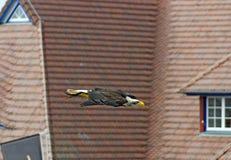 Águia branco-dirigida de voo Foto de Stock Royalty Free