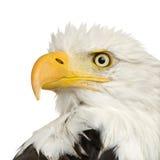 Águia calva (22 anos) - leucocephalus do Haliaeetus Imagem de Stock