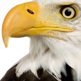 Águia calva (22 anos) - leucocephalus do Haliaeetus Imagens de Stock