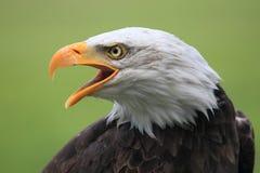 Águia calva Fotografia de Stock Royalty Free