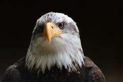 Águia calva Foto de Stock Royalty Free