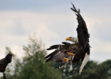 Águia calva americana Imagens de Stock Royalty Free