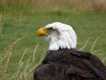Águia calva americana. imagem de stock