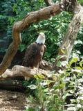 Águia calva americana imagens de stock