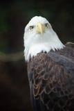 Águia calva americana Fotos de Stock