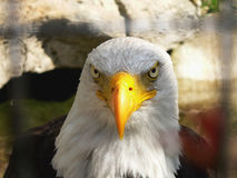 Águia calva americana foto de stock royalty free