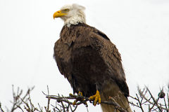 Águia calva americana Foto de Stock