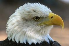 Águia calva americana fotografia de stock