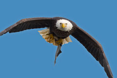 Águia calva americana imagem de stock royalty free