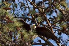 Águia calva americana Fotos de Stock Royalty Free