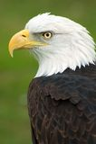 Águia calva americana deixada Imagem de Stock Royalty Free
