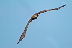 Águia calva americana juvenil Fotografia de Stock Royalty Free