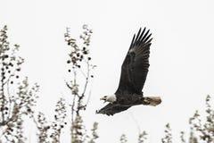 Águia calva americana no vôo Imagens de Stock Royalty Free