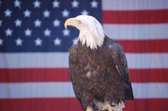 Águia calva com bandeira 2 Foto de Stock
