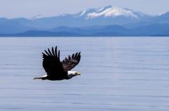Águia calva e montanhas Foto de Stock Royalty Free