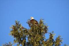 Águia calva em uma árvore Fotografia de Stock