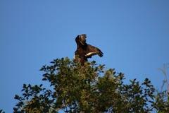 Águia calva em uma árvore Imagem de Stock Royalty Free