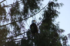 Águia calva em uma árvore Imagem de Stock