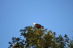 Águia calva em uma árvore Imagens de Stock