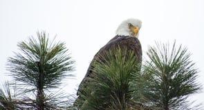 Águia calva empoleirada em uma filial Imagens de Stock Royalty Free